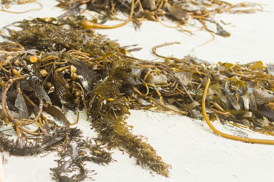 Kelp na pobřeží