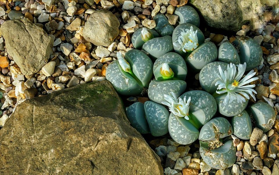 kvetoucí kameny
